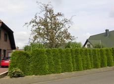 быстрорастущие кустарники для живой изгороди