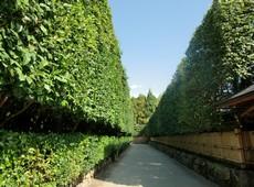 живая изгородь растения