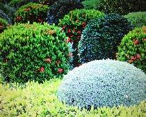 растения применяемые в озеленении