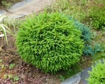 озеленение хвойными растениями