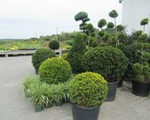 кустарники для озеленения