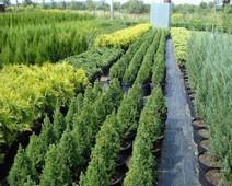 продажа деревьев озеленение