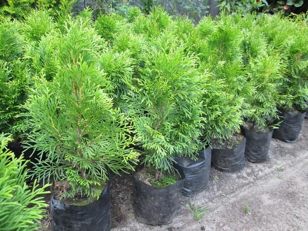 Купить деревья